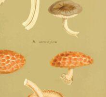 Illustrations of British Fungi by Mordecai Cubitt Cook 1891 V3 0111 AGARICUS  PLETEUS  PH LEBOPHORUS Sticker