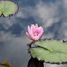 Lily on a Pond by schiabor