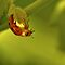 Upside Down Ladybug by Michael Schaefer