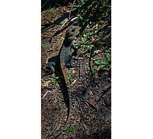 Gippsland Water Dragon. Photographic Print