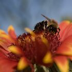 Bee on Gaillardia by Carol Hathaway