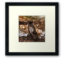 American Red Squirrel - hello Framed Print