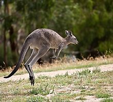 Kangaroo On The Hop by Yanni