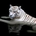 White Tiger, Singapore Zoo by Cathy Cormack