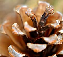 Winter Pine Cone (Natural color) by MarjorieB