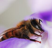 Bee On A Wisteria Flower by Evita