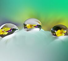 Pansy reflections by Lyn Evans