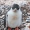 Gentoo Penguin Chick ~ &quot;My life&#x27;s goal....to grow into my feet!&quot; by Robert Elliott