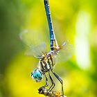 Another Blue Dasher by Briar Richard