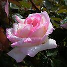 Princesse de Monaco rose after the rains by BronReid