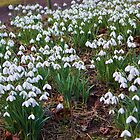 Snowdrops by Ray Clarke