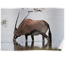 Oryx gazella - gracious Poster