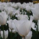 White Field by Lozzar Flowers & Art