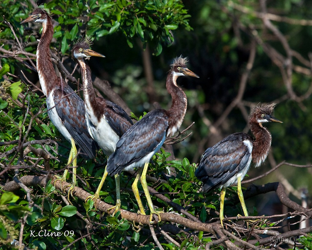 4 Baby Tri Color Herons by Kathy Cline
