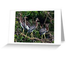 4 Baby Tri Color Herons Greeting Card