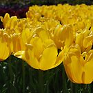 Yellow Tulips by Lozzar Flowers & Art