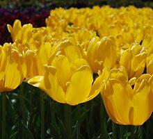Yellow Tulips by Lozzar Flowers & Art