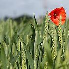 Poppy amongst the wheat by Christine Oakley