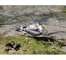 A Youthful Tern Photographic Print