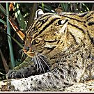 """"""" Fishing Cat"""" by Malcolm Chant"""