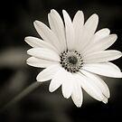 Daisy White by Kory Trapane