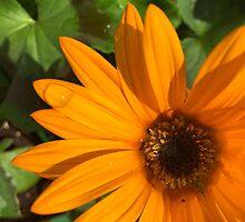 Dewy Summer Daisy by Kate Marley