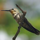 Hummingbird by PhotosByLeila