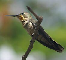Hummingbird by PhotosByLeila