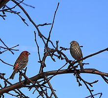 Ma and Pa House Finch by KatsEye