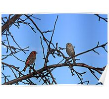 Ma and Pa House Finch Poster