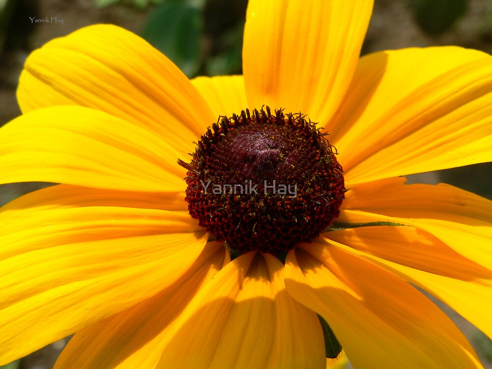 Black-Eyed Susan by Yannik Hay