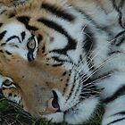 Sleeping tiger by wildshot