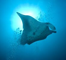 Manta Ray off Tofo Mozambique by wildshot