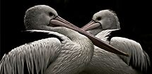 just a couple of pelicans by Lisa  Kenny