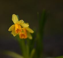 Early Daffodils by Dawn OConnor