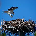 Osprey Brings Nesting Materials by Linda Godfrey