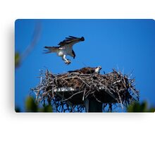 Osprey Brings Nesting Materials Canvas Print