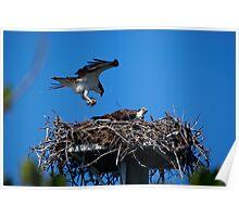 Osprey Brings Nesting Materials Poster