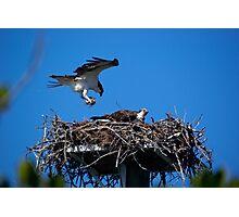 Osprey Brings Nesting Materials Photographic Print