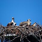 Osprey Family by Linda Godfrey