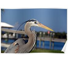 Blue Heron Closeup Poster