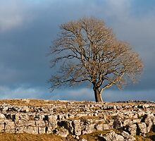 Solitary Tree Malham Moor Yorkshire Dales by Nick Jenkins
