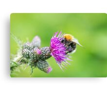 Bee on a Thistle Canvas Print