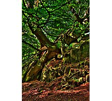 Old beech tree in wind Photographic Print