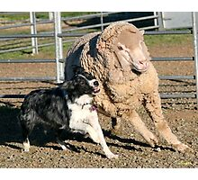 Blue merle koolie and sheep Photographic Print