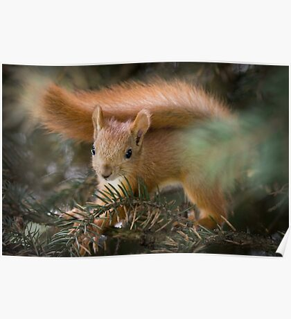 Baby Squirrel in the fur tree Poster