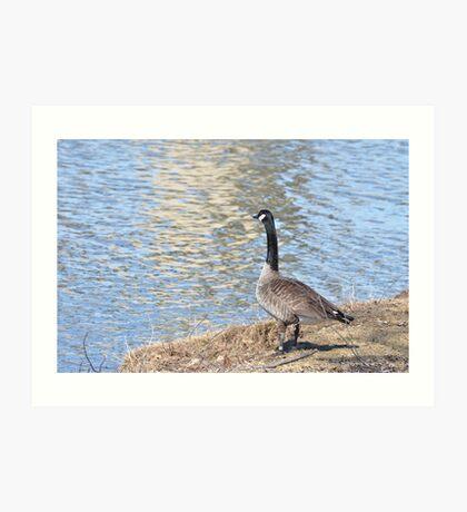 Lone goose on the bank Art Print