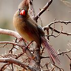 Female Cardinal by Nick Conde-Dudding