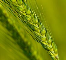 Study of Barley Crop by Mukesh Srivastava