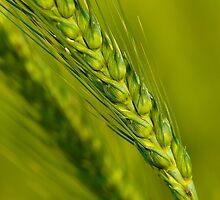 Study of Barley Crop by Mukesh Srivastava